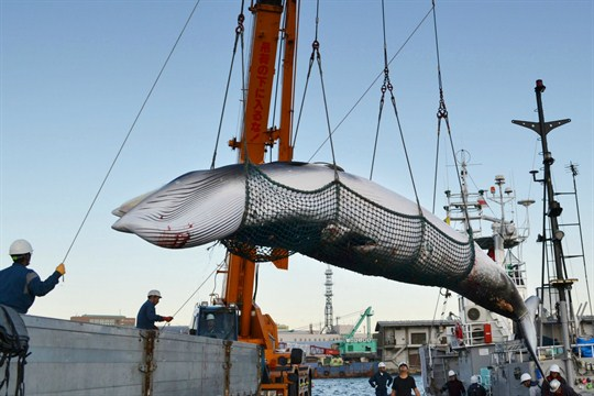The Impact of Japan's Split From the International Whaling Commission