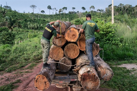 Agents from IBAMA measure illegally cut timber in Para state, in Brazil's Amazon basin.