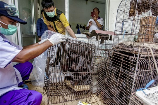 Health officials inspect bats at a live animal market in Central Java, Indonesia