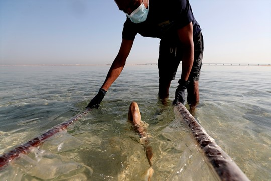 A baby Arabian carpet shark is released into Persian Gulf waters during a conservation project