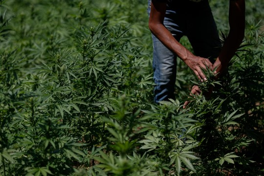 A farmer works in a marijuana field in the mountains surrounding Badiraguato, Sinaloa state, Mexico