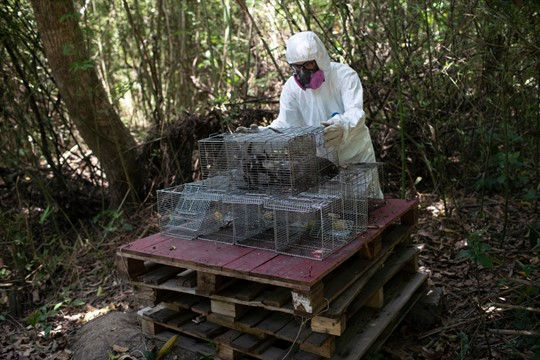A researcher for Brazil's state-run Fiocruz Institute handles a cage of captured monkeys near Rio