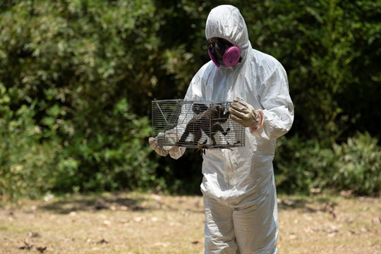 A researcher for Brazil's state-run Fiocruz Institute handles a cage of captured monkeys